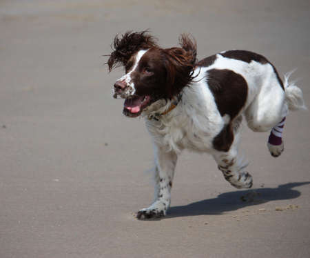 Beautiful working type english springer spaniel standing running on a sandy beach photo