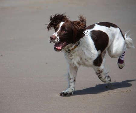 puppydog: Beautiful working type english springer spaniel standing running on a sandy beach