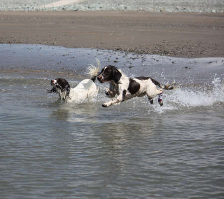 Two beautiful working type english springer spaniel running into the sea photo
