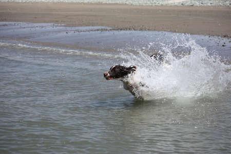 Beautiful working type english springer spaniel running into the sea photo