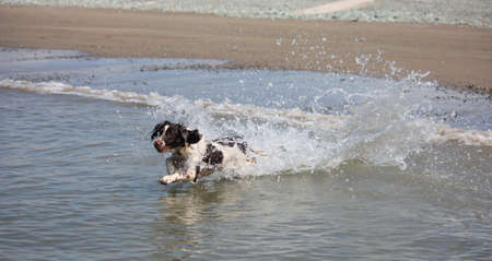 Beautiful working type english springer spaniel running into the sea photo