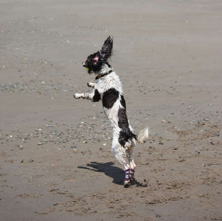 Beautiful working type english springer spaniel jumping on a beach photo
