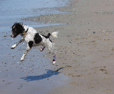 Beautiful working type english springer spaniel jumping on a beach