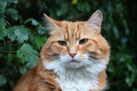 ginger haired: Beautiful long haired ginger and white pet cat Stock Photo