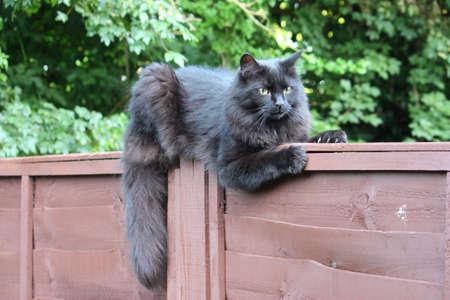 Beautiful long haired black pet cat