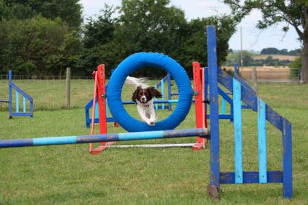 puppydog: working type english springer spaniel pet gundog jumping agility equipment