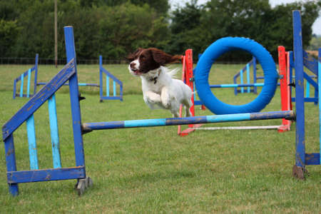 cute working type english springer spaniel pet gundog jumping an agility obstacle