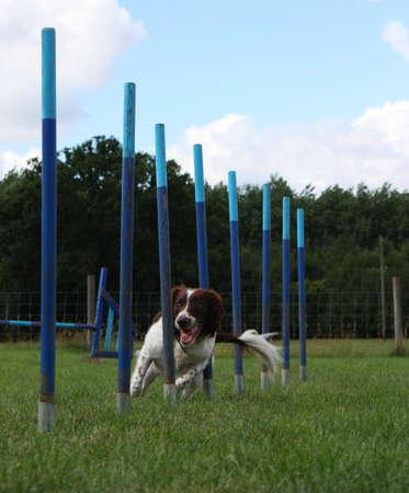puppydog: very cute working type english springer spaniel pet gundog weaving through agility equipment Stock Photo