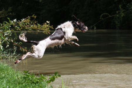 a very wet working type english springer spaniel pet gundog leaping into water