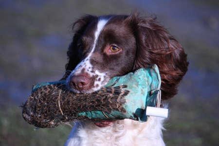 彼女の口でトレーニング ・ ダミーで銃猟犬をペット型英語スプリンガースパニエルの作業