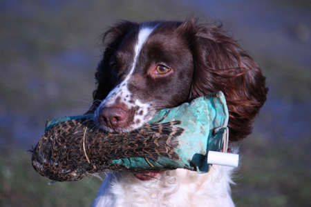 Working Type English Springer Spaniel pet gundog with a training dummy in her mouth