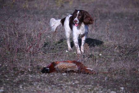gundog: Working Type English Springer Spaniel pet gundog collecting a pheasant