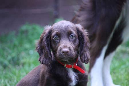 puppydog: beautiful handsome liver working type cocker spaniel puppy pet gundog with red collar