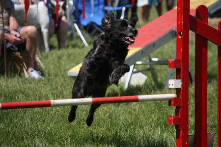 gundog: brittany gundog jumping an agility jump