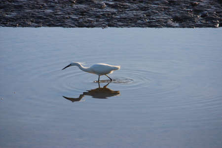 ardeidae: a heron looking for food in a pool