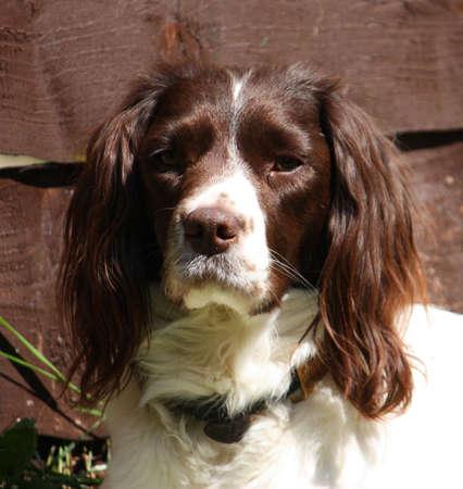 gundog: working type english springer spaniel pet gundog with large ears