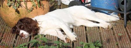 gundog: working type english springer spaniel pet gundog lying in the sun