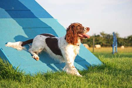 puppydog: a cute liver and white working type english springer spaniel pet gundog enjoying agility