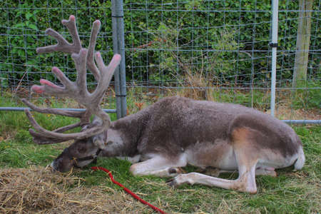 a magnificent reindeer with very large antlers Stock Photo