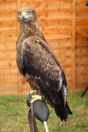 a magnificent golden eagle raptor