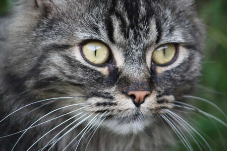 A very cute long haired brown and black tabby pussycat with long whiskers and huge eyes photo
