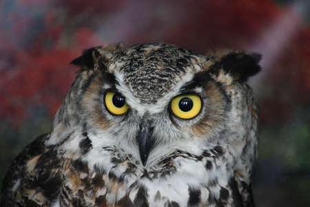 a magnificent eagle owl Stock Photo