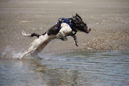 puppydog: liver and white working type english springer spaniel pet gundog jumping into water