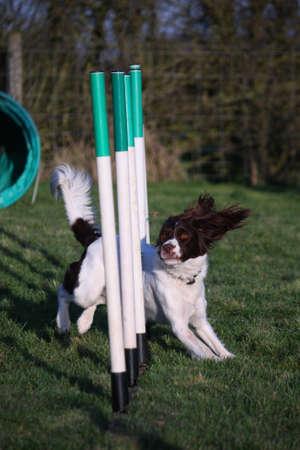 gundog: a cute liver and white working type english springer spaniel pet gundog enjoying agility