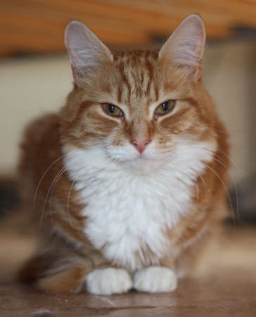 ginger haired: a very cute long haired ginger tabby cat with white front coat Stock Photo