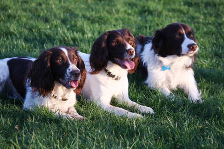 three very cute liver and white pet dogs