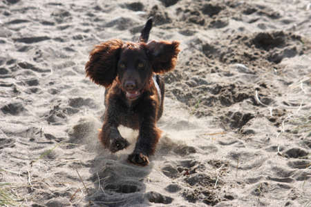 very cute young liver working type cocker spaniel puppy running on a sandy beach photo