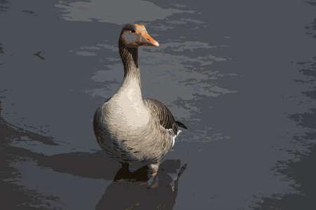 waterfowl: beautiful goose standing in water Illustration