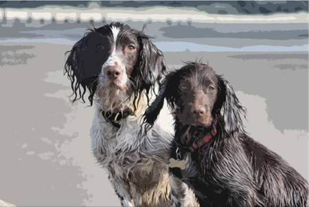 sat: a working type english springer and cocker spaniels sat together on a sandy beach