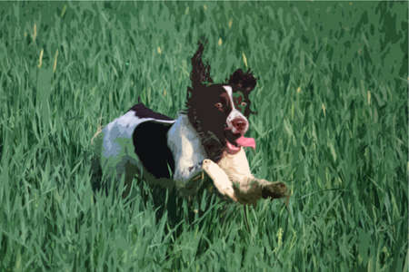 springer: Working type english springer spaniel pet gundog in a field of green crops Illustration