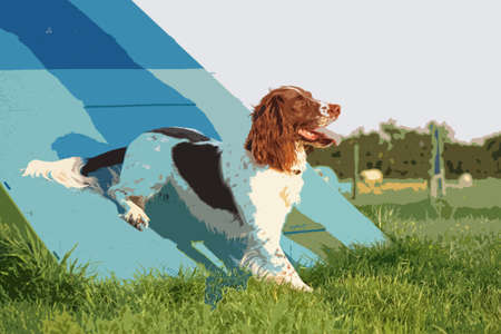 doggies: a cute liver and white working type english springer spaniel pet gundog enjoying agility