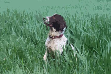 gundog: Working type english springer spaniel pet gundog in a field of green crops Illustration