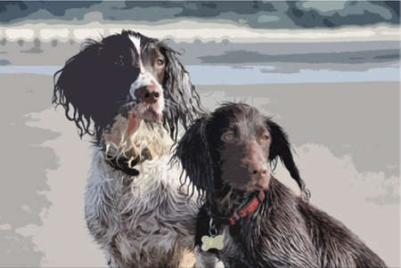 cocker: a working type english springer and cocker spaniels sat together on a sandy beach