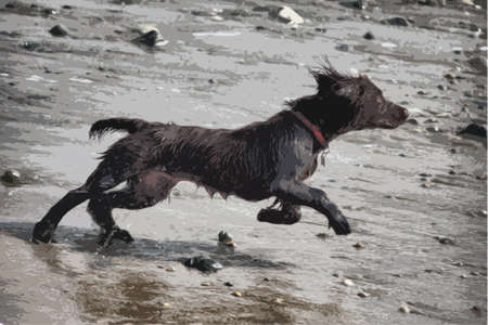 cocker: very cute young liver working type cocker spaniel puppy running on a sandy beach Illustration