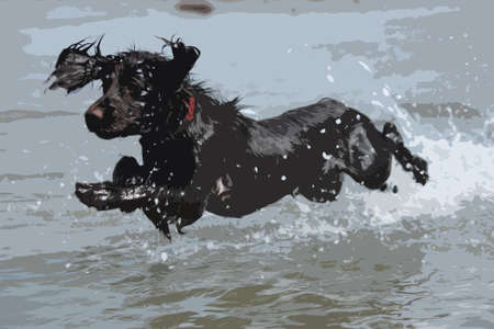 cocker: a wet young brown working type cocker spaniel puppy leaping into the sea