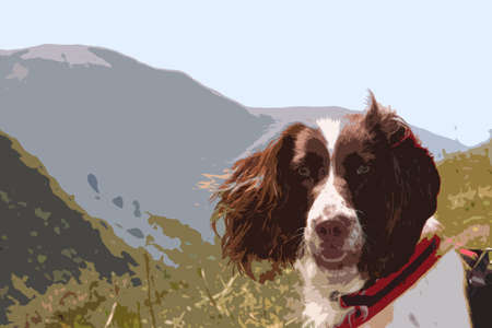 gundog: working type liver and white english springer spaniel pet gundog