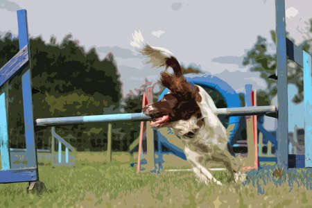 gundog: liver and white working type english springer spaniel pet gundog running