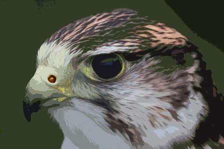 close up portrait of a harris hawk Vector