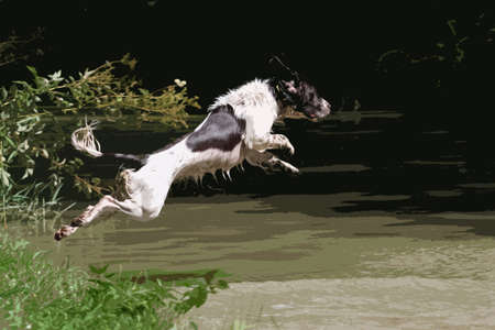 damp: working type english springer spaniel pet gundog jumping into water Illustration