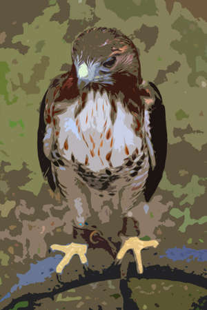 is magnificent: a magnificent hawk with yellow feet Illustration