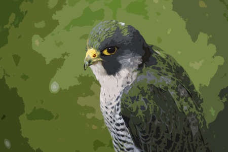 ornithology: a amgnificent grey and white hawk