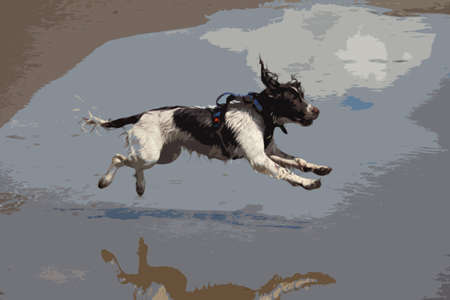 damp: working type engish springer spaniel pet gundog jumping on a sandy beach Illustration