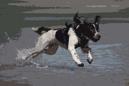 damp: working type engish springer spaniel pet gundog jumping on a sandy beach Illustration