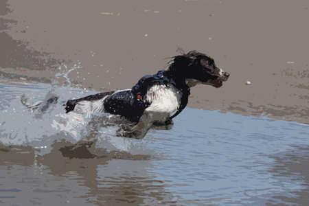 working type engish springer spaniel pet gundog jumping on a sandy beach Vector