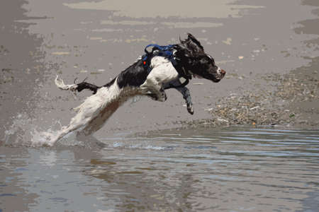 jumping into water: liver and white working type english springer spaniel pet gundog jumping into water