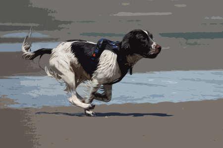 Working type english springer spaniel pet gundog running on a sandy beach; Vector